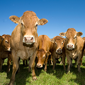 Cattle Commodity